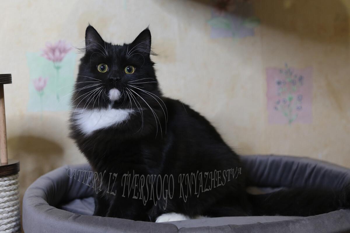 buy a black kitten