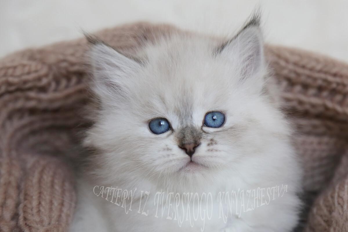 eyes of the Neva masquerade cat