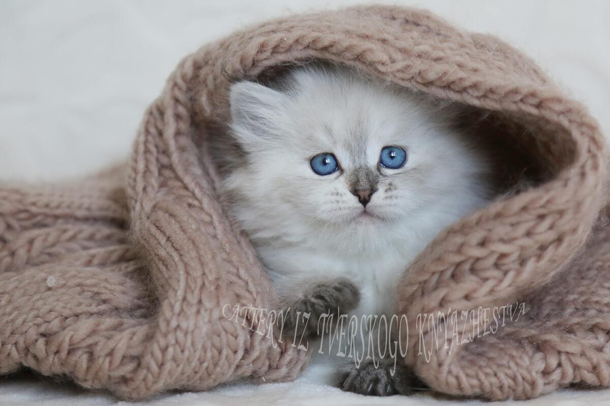 seal torty tabby point tabby kitten