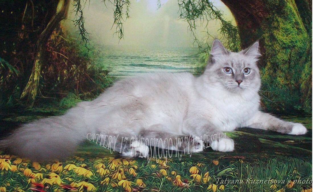 buy a beautiful kitten as a pet