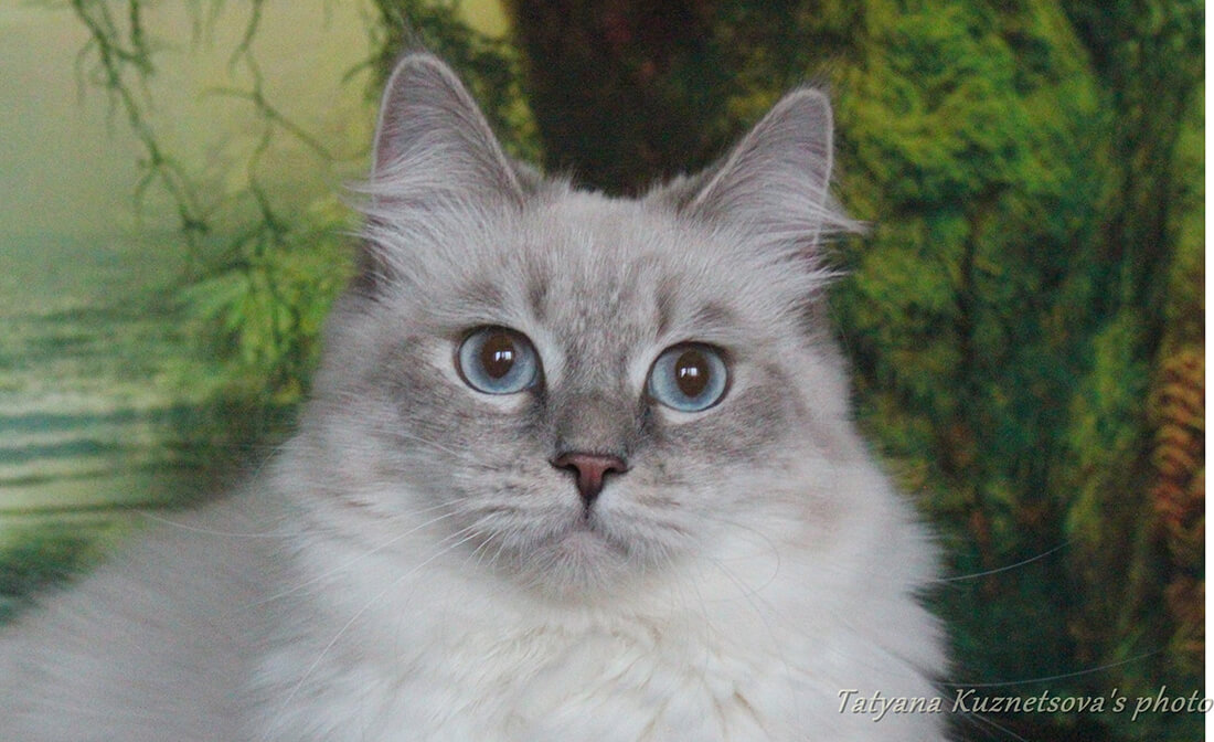 Siberian cats in Russia