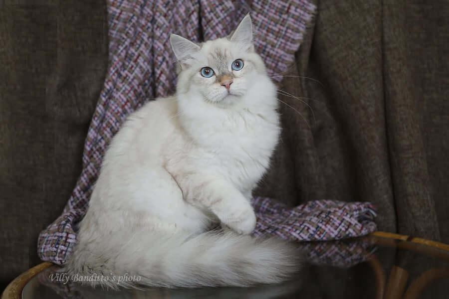 Golden Neva cat