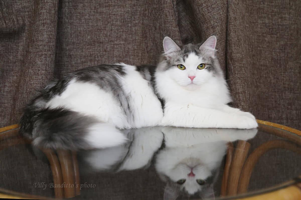 Green-eyed Siberian