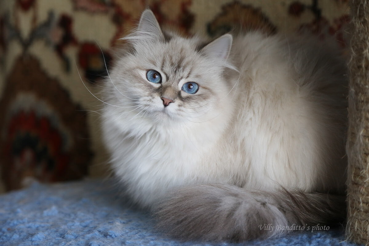 Available for adoption an adult Siberian Neva masquerade cat finished her breeding carrier - charming blue-eyed girl with sweet character