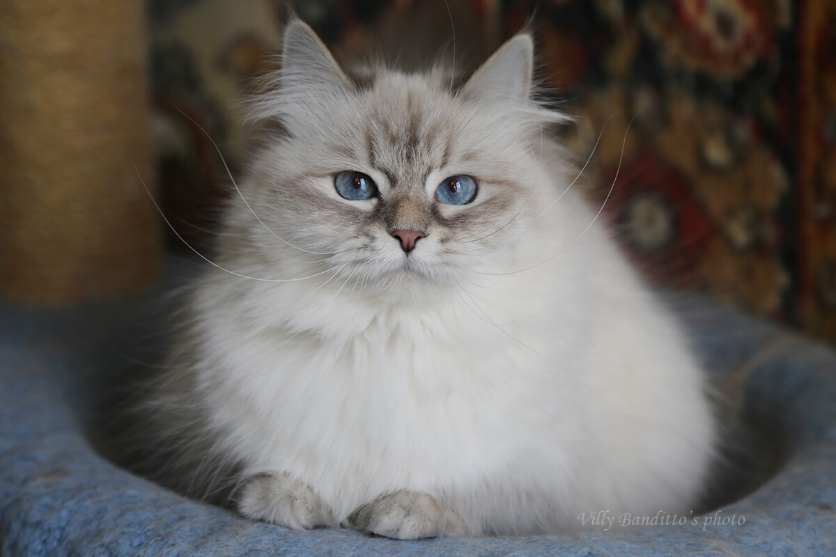 Available as a pet an adult Neva masquerade cat that has finished its breeding career. Sweet and friendly lady for a family without other cats