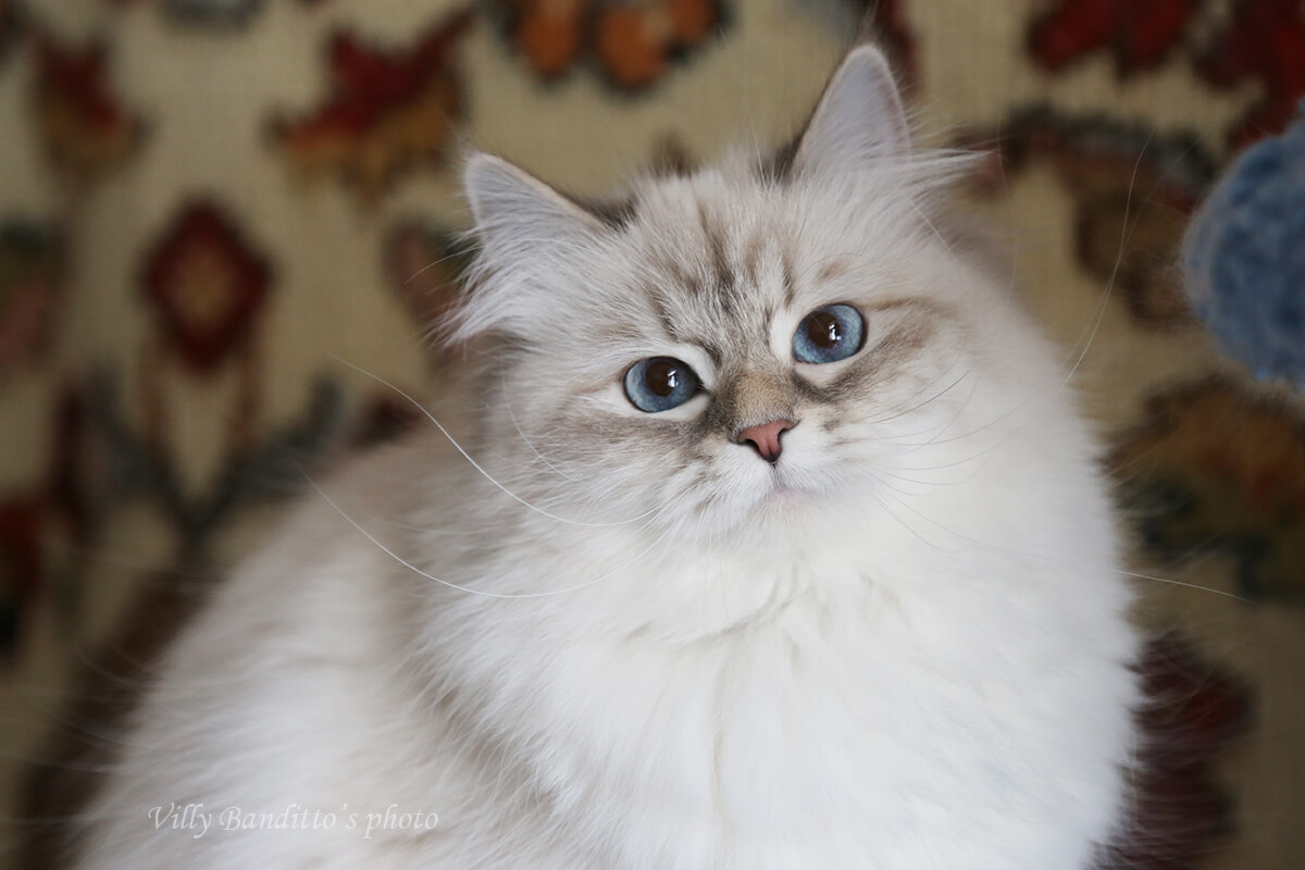 Neva masquerade cat - cute and beautiful young lady with blue eyes, she finished her breeding carrier and looking for the best forever home
