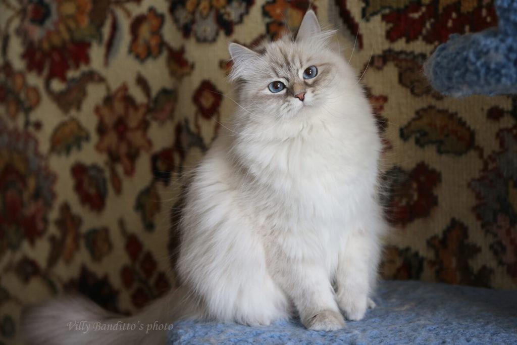 Amazing blue-eyed Neva masquerade blue tabby point cat for sale for not high price