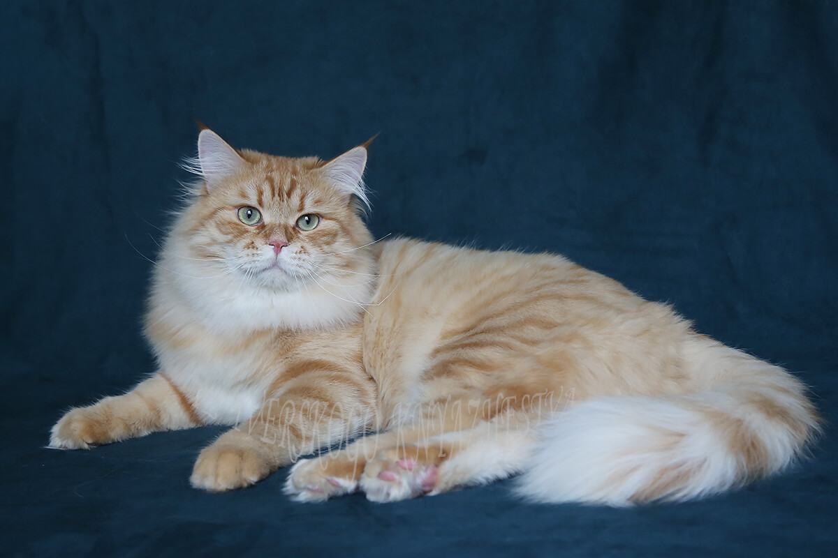 Very large and heavy Siberian cat - red spotted charismatic guy in excellent breed type and with beautiful green eyes