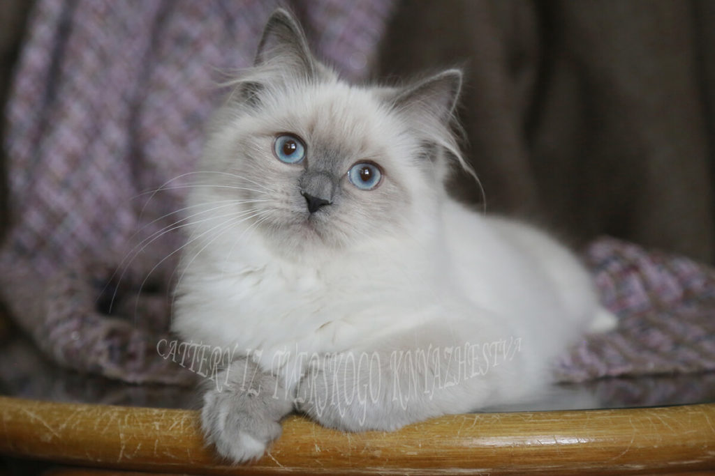 Siberian kitten for sale from cattery Iz Tverskogo Knyazhestva - charming blue point Neva masquerade young lady with excellent contrast and texture of coat