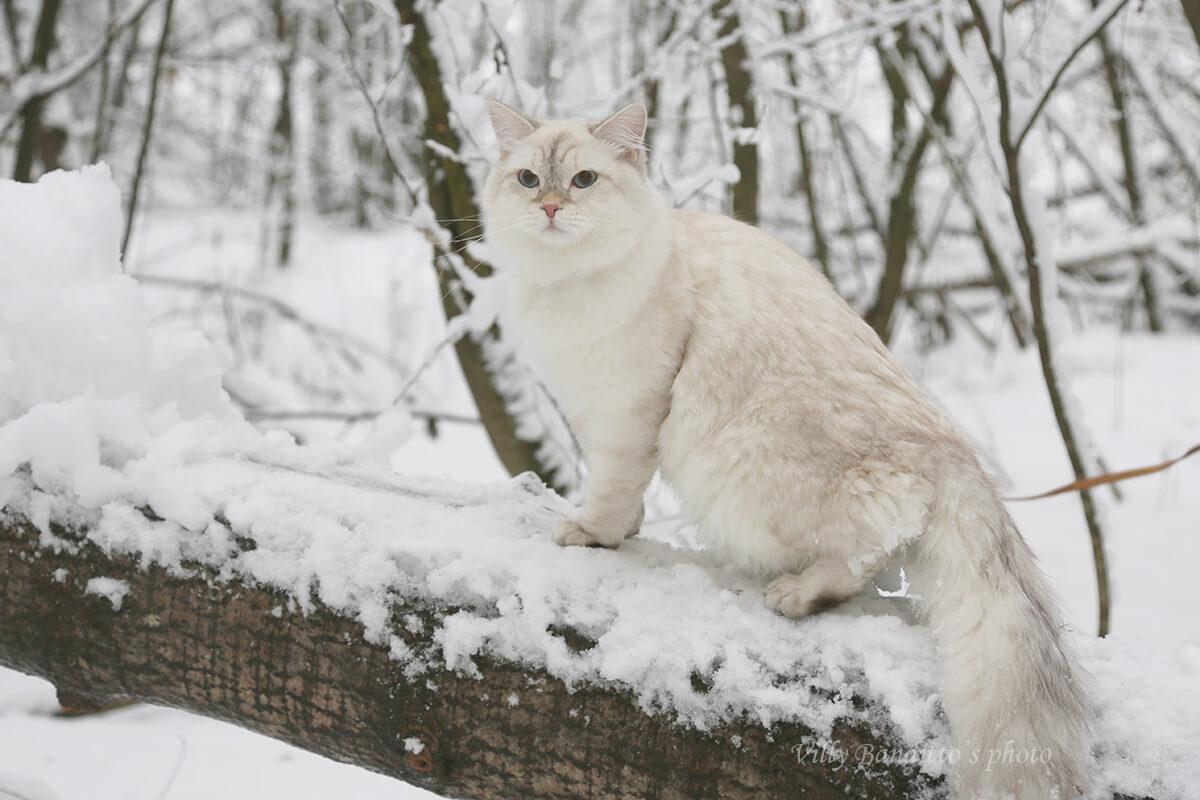 acheter un chaton de race sibérienne