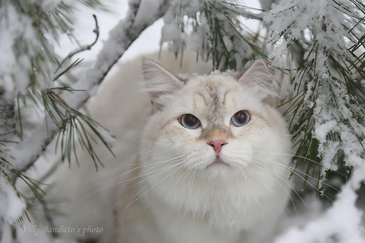 acheter un chaton sibérien de couleur dorée