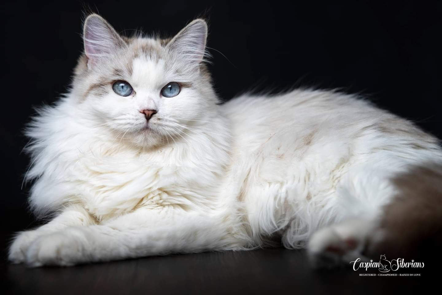 Very beautiful and incredibly affectionate Neva masquerade lady - a graduate of Siberian cattery