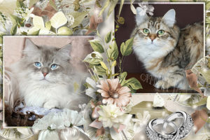 Buy Siberian kittens from cattery in Russia