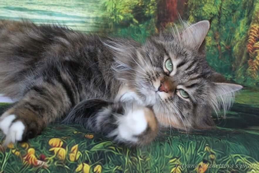 Traditional Siberian cat