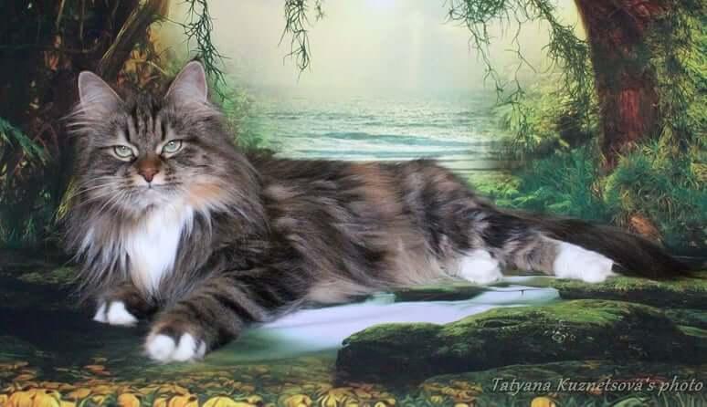 Tortie Siberian cat
