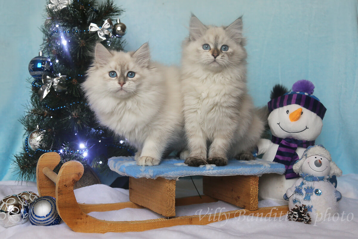 Available Neva masquerade kittens from a reputable Siberian cattery in Russia g charming girls in good breed type, with excellent texture of coat and fantastic blue eyes