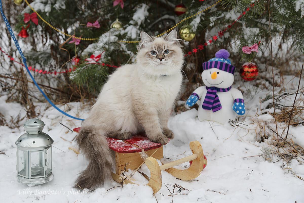 Siberian Prince