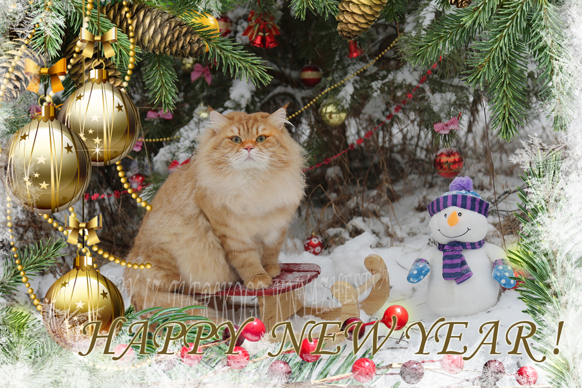 Very cute Christmas card with incredibly strong and powerful Siberian traditional cat - gorgeous Red Siberian male Artas Iz Tverskogo Knyazhestva