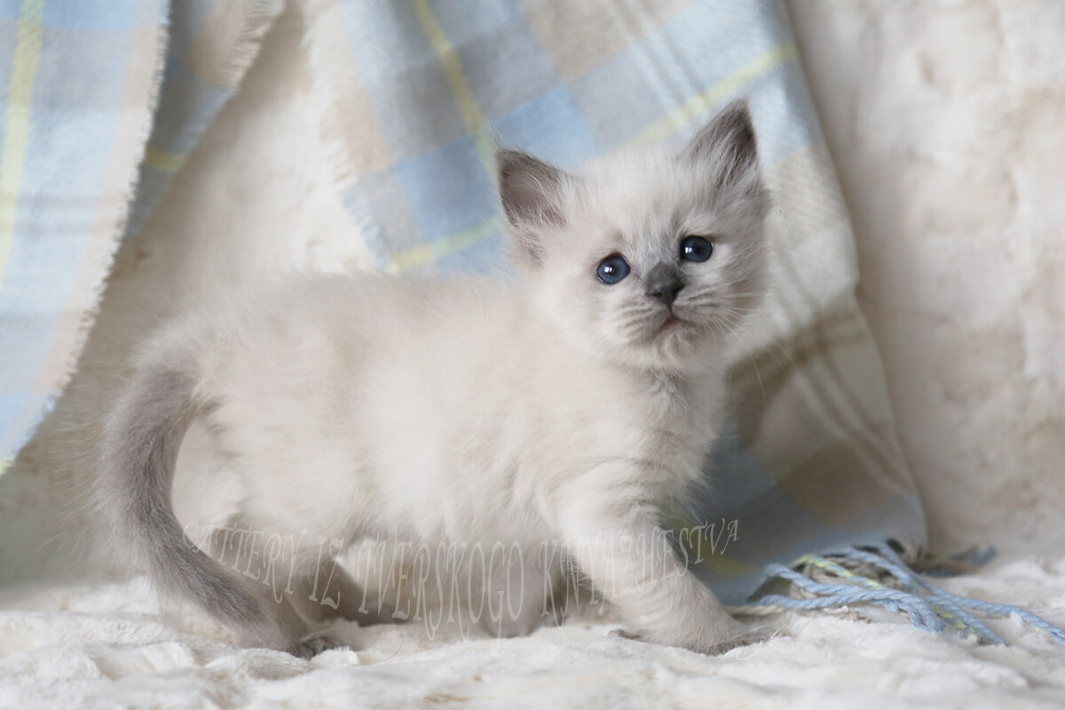 Charming Siberian Neva masquerade kitten of solid color - blue point. Very sweet young gentleman with incredibly blue eyes