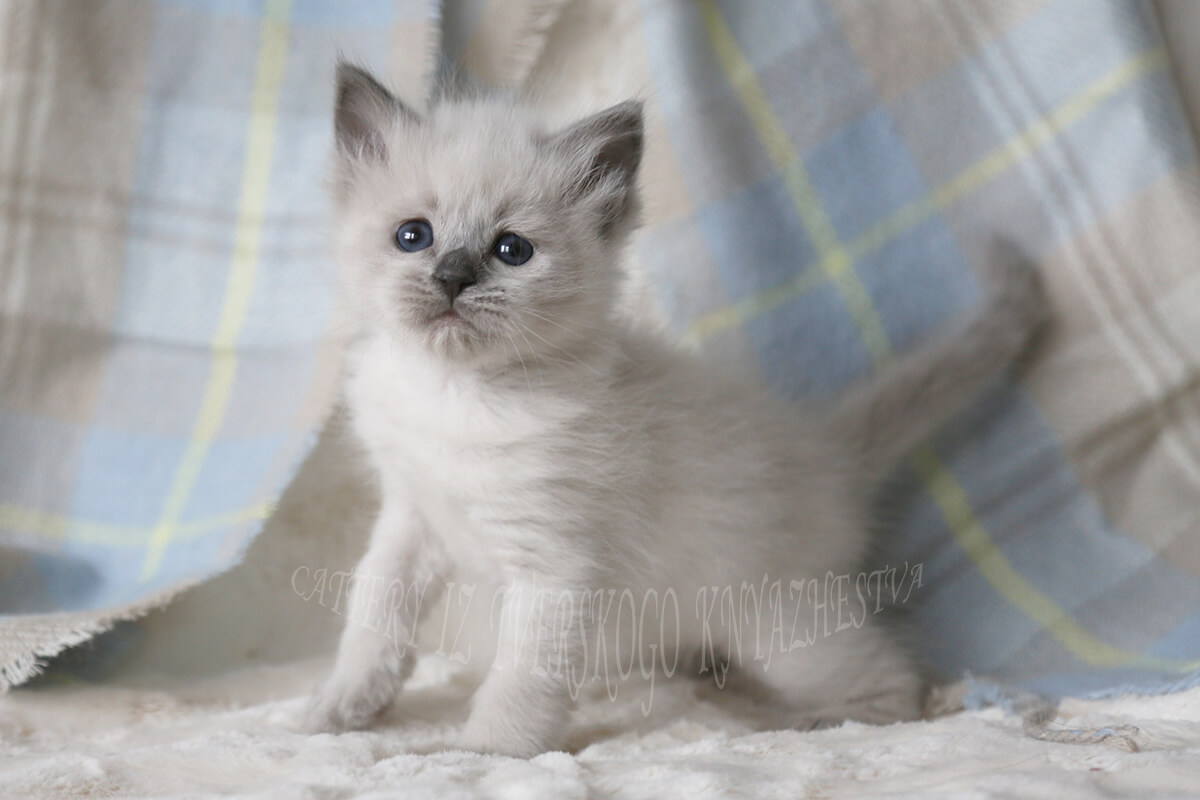 Blue point Siberian kitten with fantastically blue eyes is available for breeding and show or as a pet
