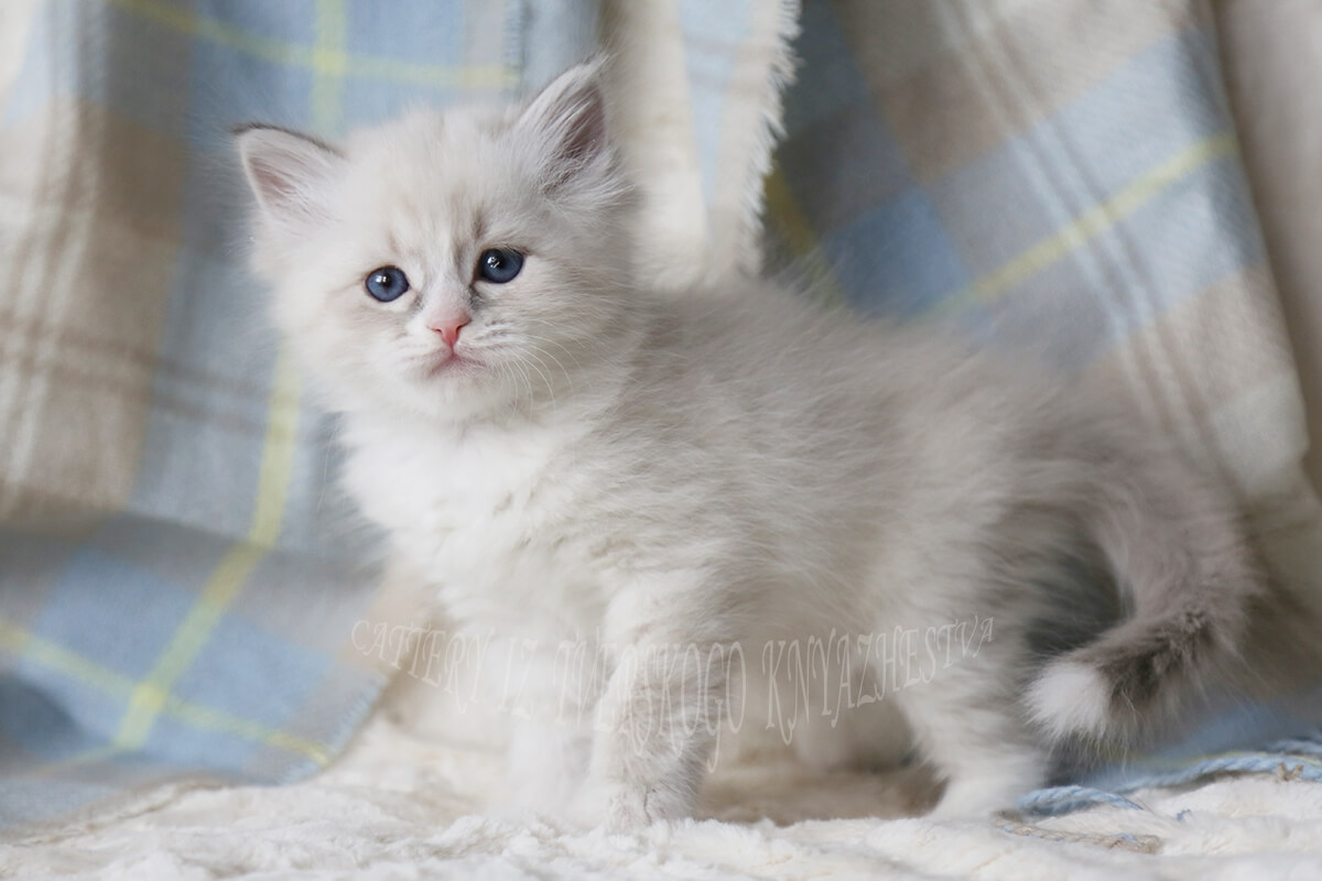 Blue-eyed Siberian kitten - beautiful Neva masquerade boy of blue tabby point with white color. Sweet and friendly young gentleman