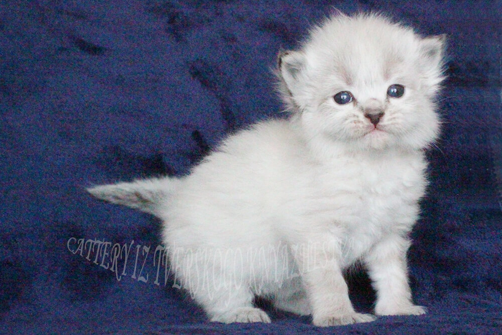 the best breeders of the Siberian cat