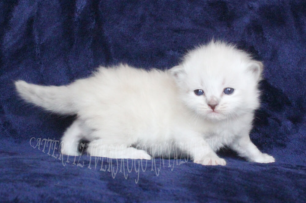 Neva masquerade kitten available as a pet. Beautiful young lady with blue eyes is good for breeding and show and as a Pet