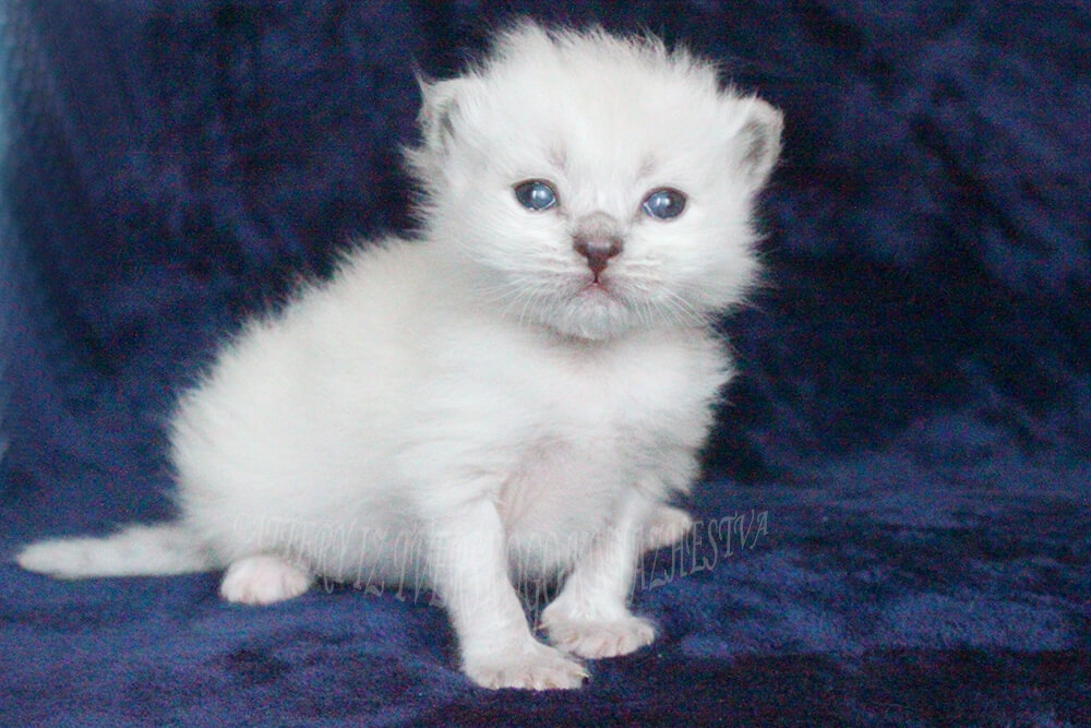 white kittens with blue eyes