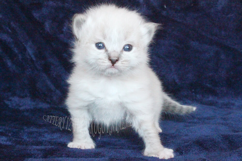 Available for sale charming Siberian Neva masquerade kitten - a boy of seal tabby point color with white paws and cute white tip on the tail