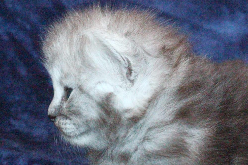 Black smoke Siberian kitten for sale - beautiful Son of our King Bal'zam dlya dushi Danvel - fantastically affectionate guy