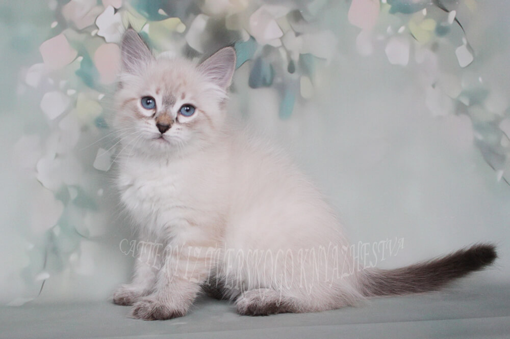 Available Neva masquerade kittens from Siberian cattery in Russia