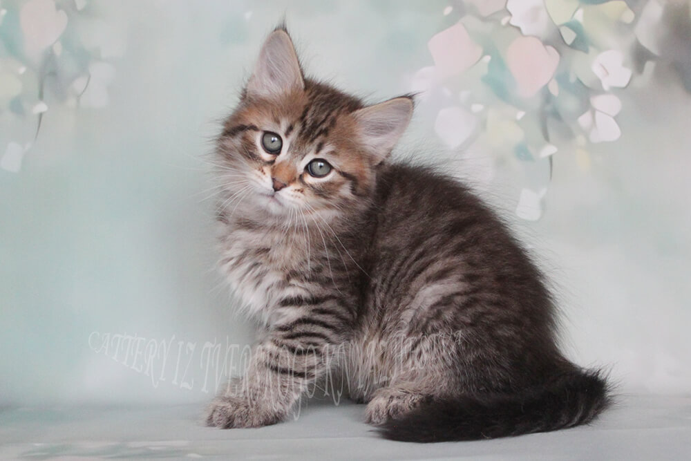 Siberian kitten of wild color - black spotted male with green eyes