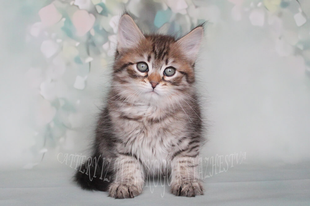 Siberian traditional kitten for sale - a male of black spotted color