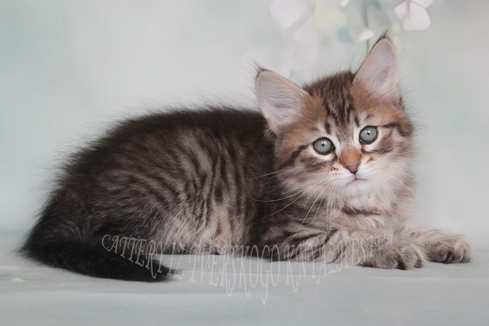 Available Siberian kitten of black spotted color