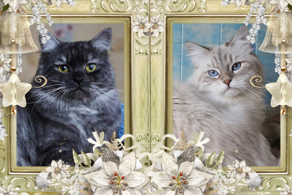 Available beautiful traditional Siberian and Neva masquerade kittens from litter