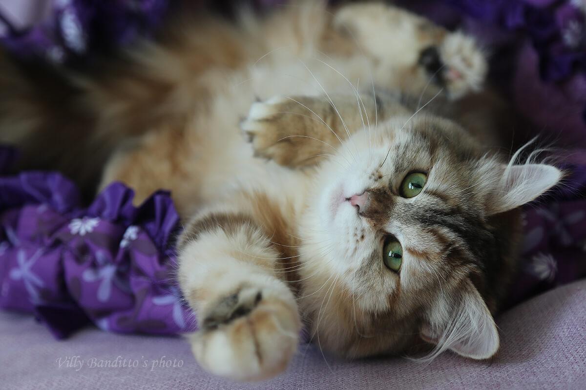 Vorozheya LyuMur - black golden young Siberian cat