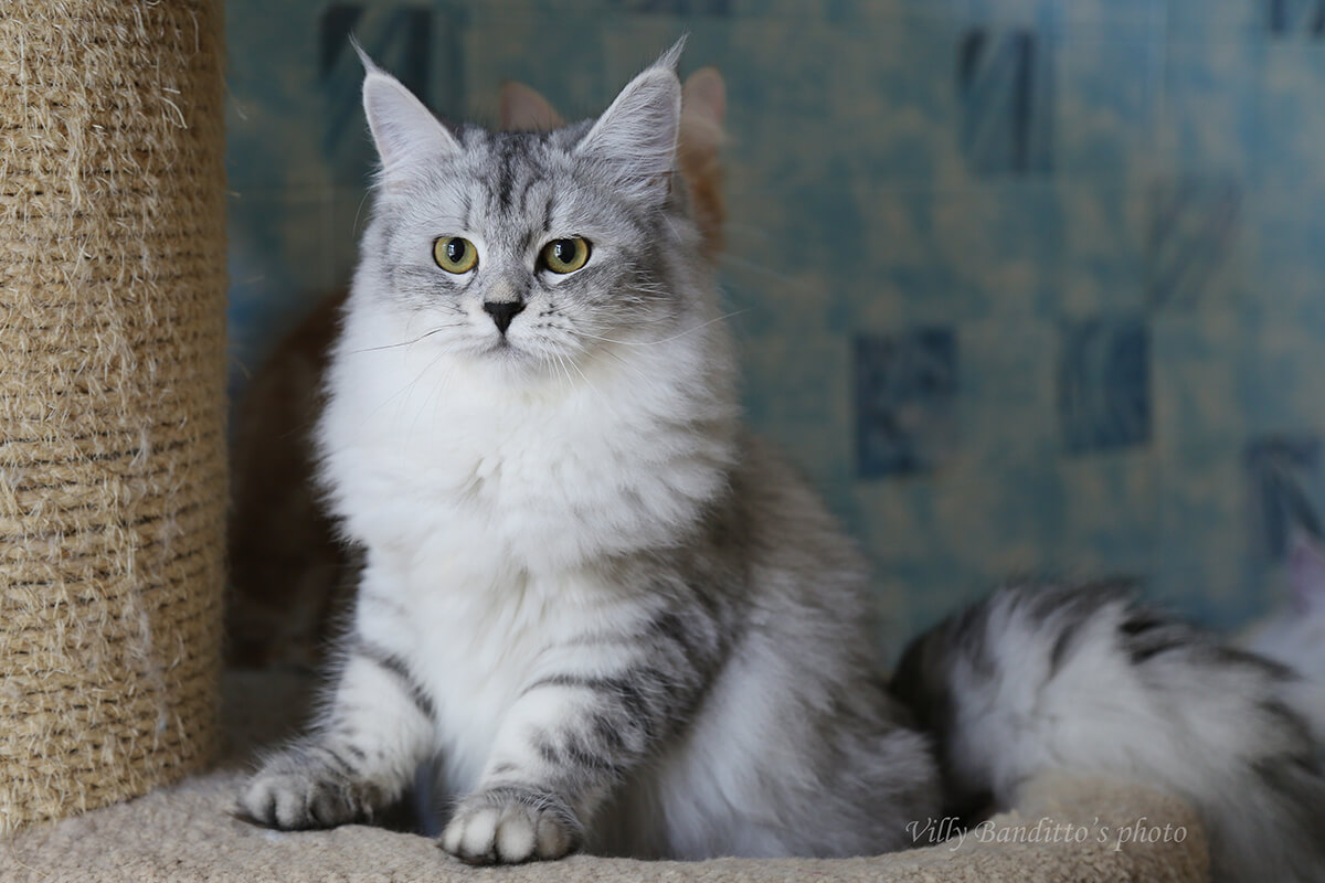 Siberian black silver spotted cat