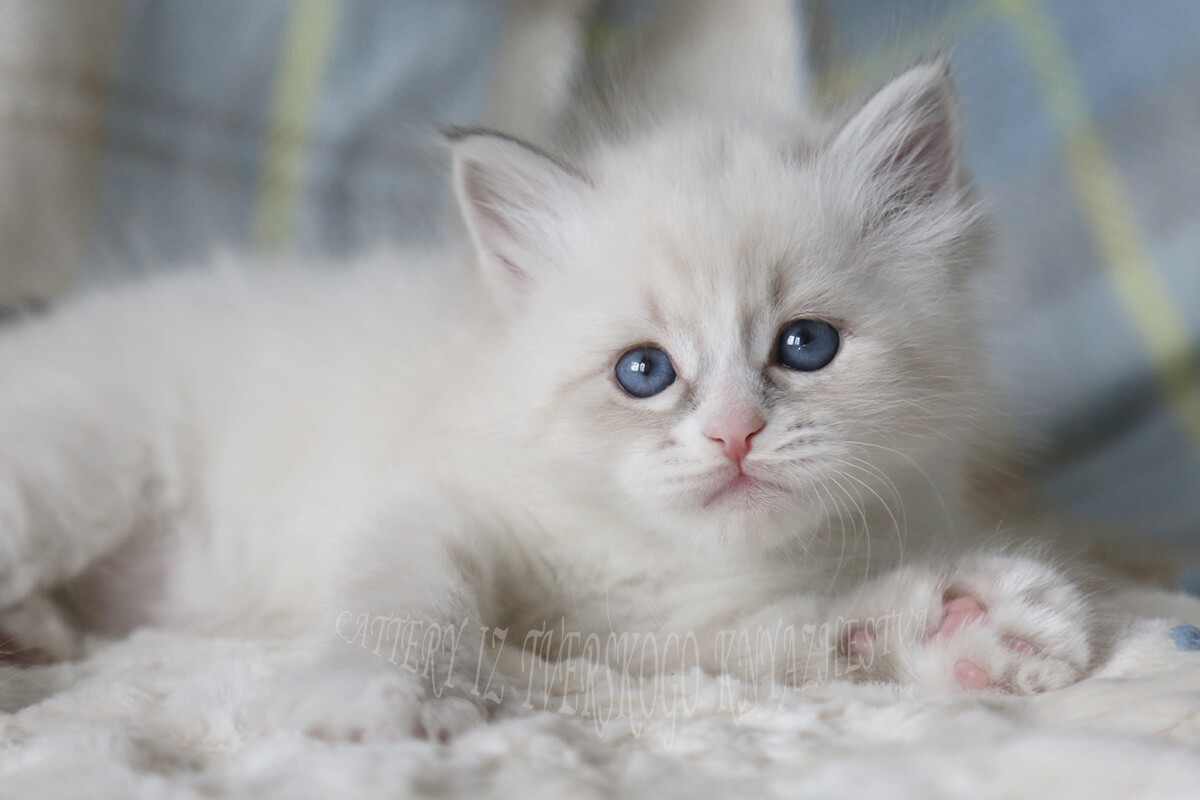 Siberian Neva masquerade kitten for sale - charming blue-eyed boy of blue tabby with color