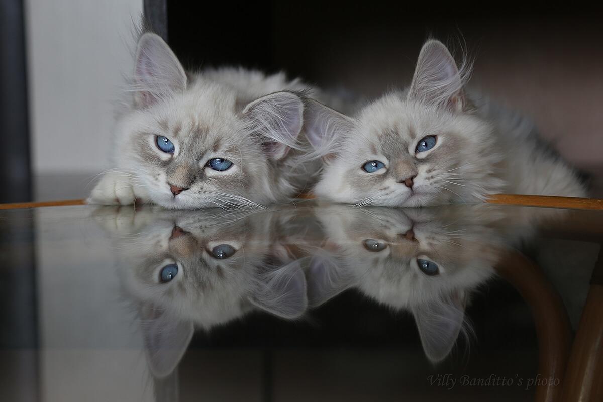 Blue-eyed Neva masquerade kittens from Siberian catteries