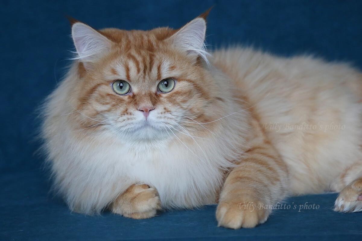 Siberian red cat