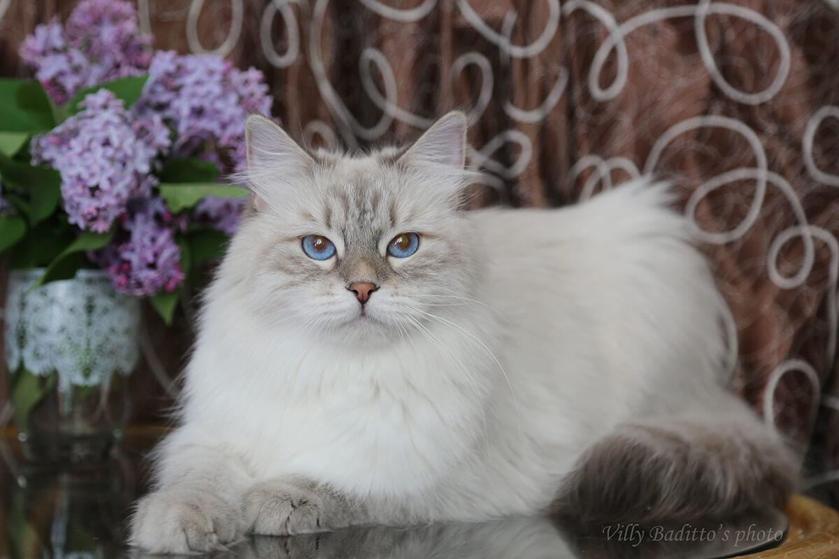Blue tabby Neva masquerade cat