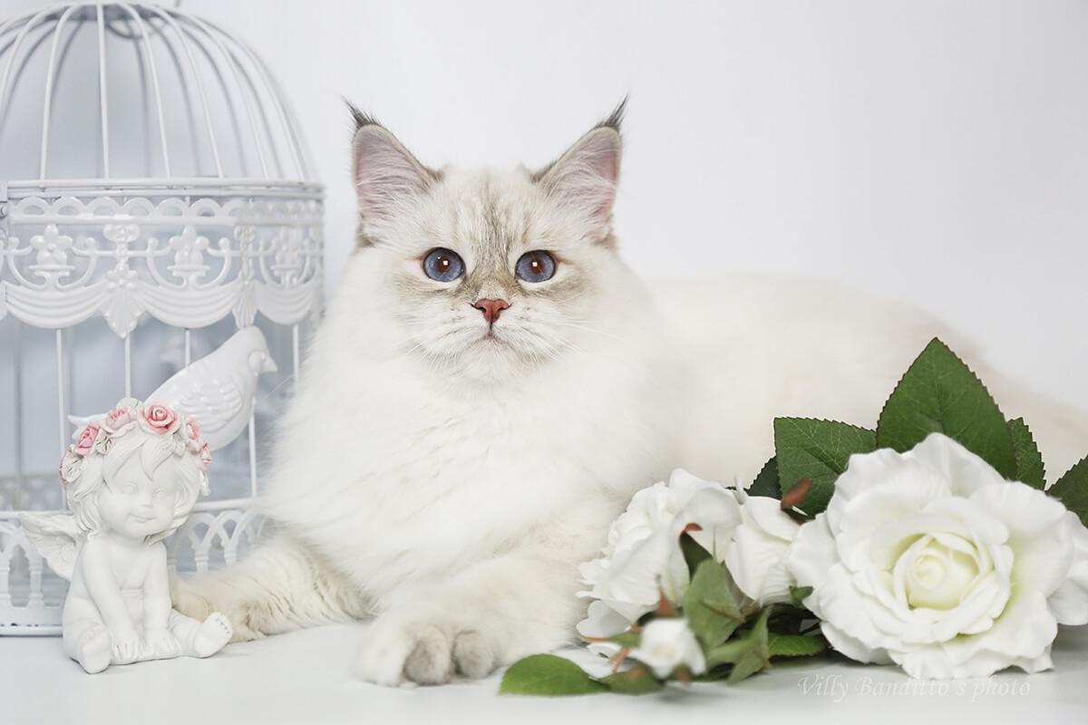 Vintage photo of  beautiful Neva masquerade cat Lapushka Iz Tverskogo Knyazhestva