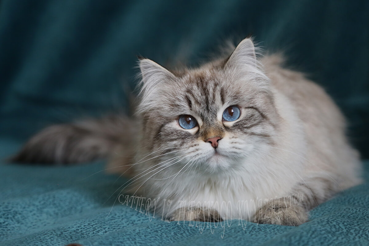 Neva masquerade cat - incredibly blue-eyed Siberian lady with excellent texture of coat and friendly temperament - Ulybka Iz Tverskogo Knyazhestva