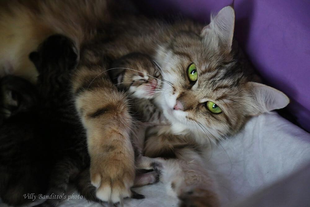 Siberian golden cat with her golden kitten