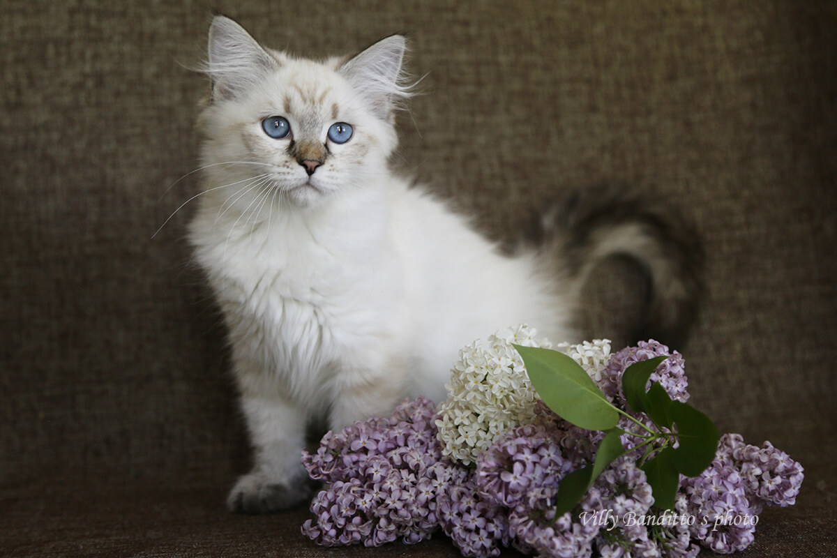 Buy a kitten of Russian native breed - Neva masquerade - Siberian kitten with blue eyes