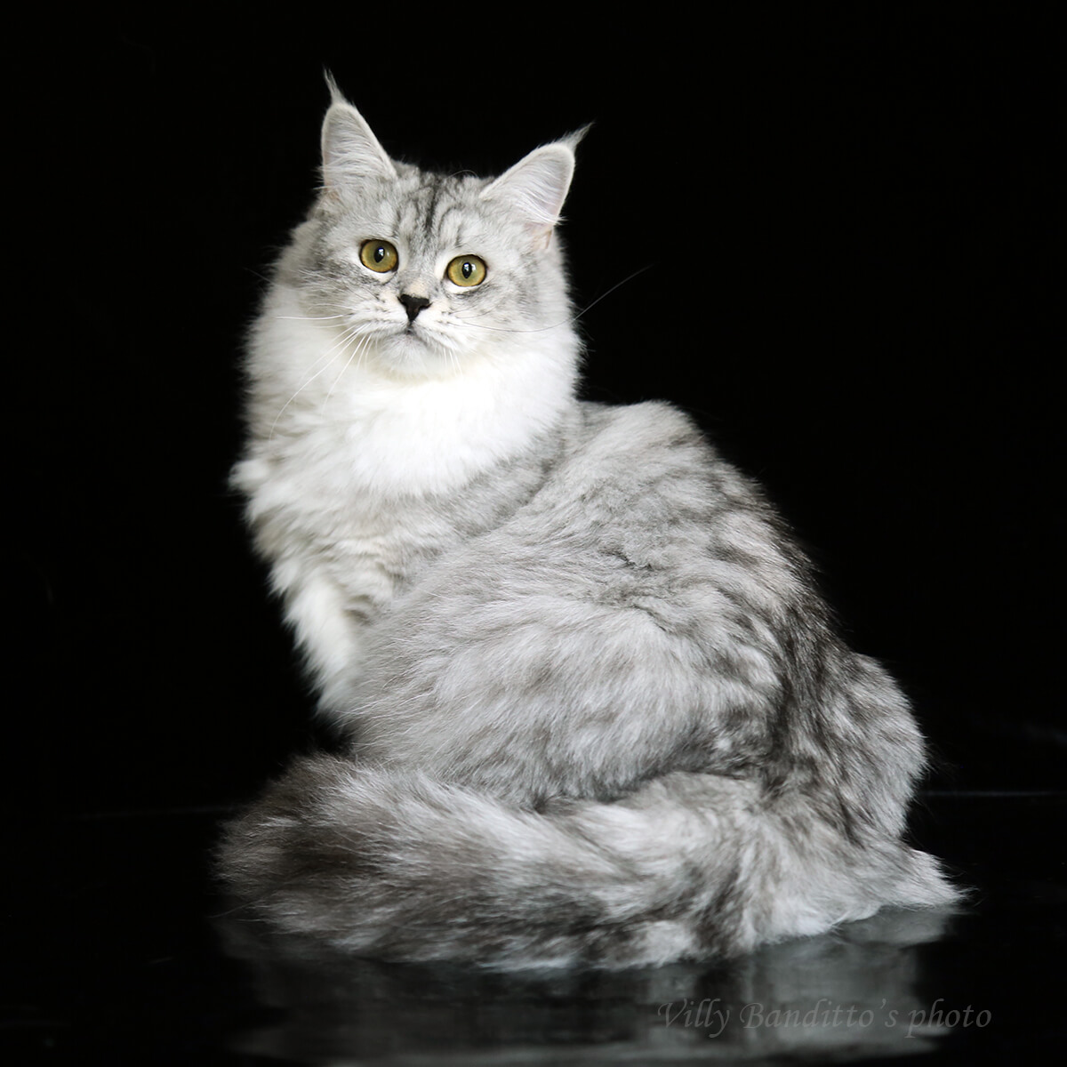 Siberian cat Princess Jasmine LyuMur