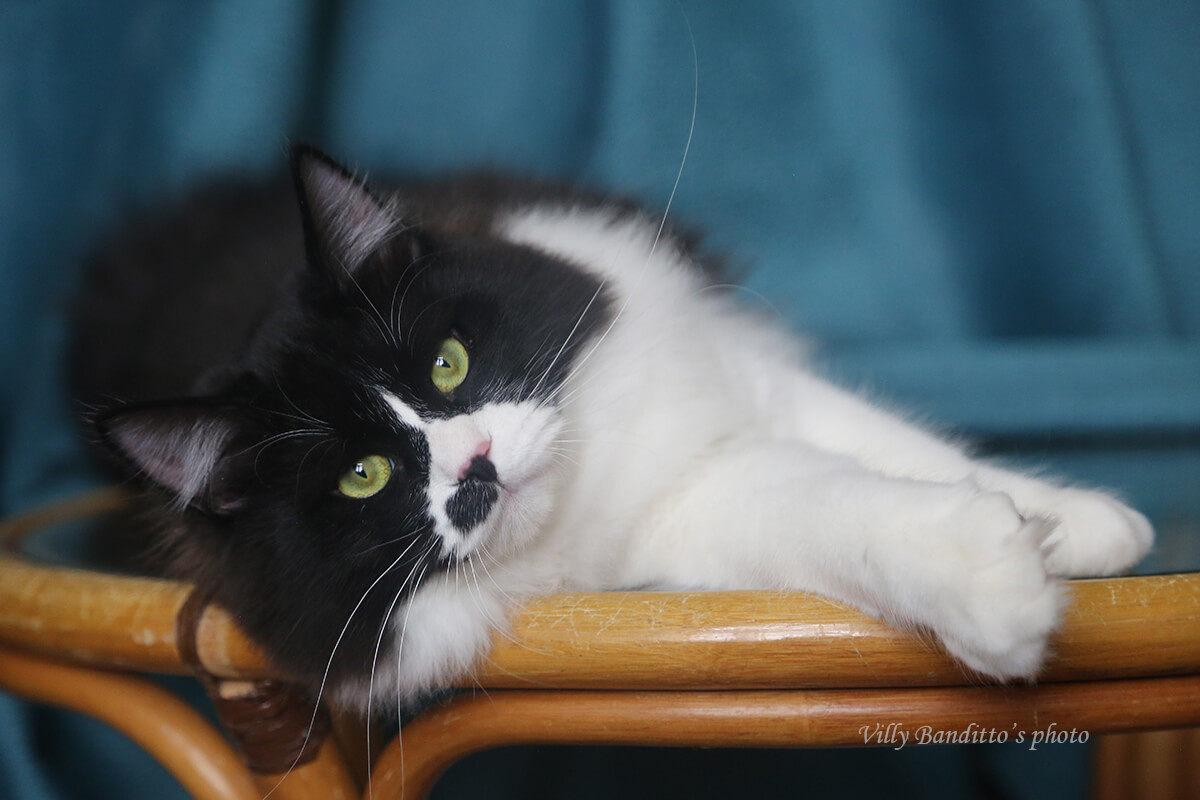 Available for sale incredibly green-eyed Siberian cat - charming young gentleman in a black tuxedo, in good breed type and with sweet temperament
