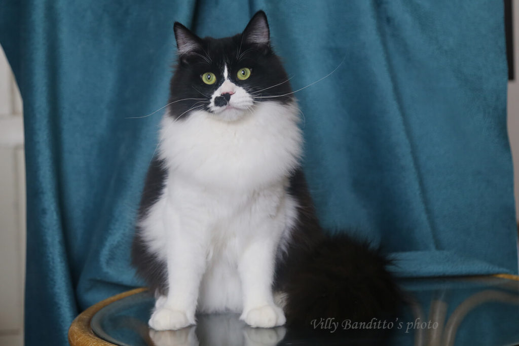 Beautiful green-eyed Siberian kitten of black solid with white color for sale