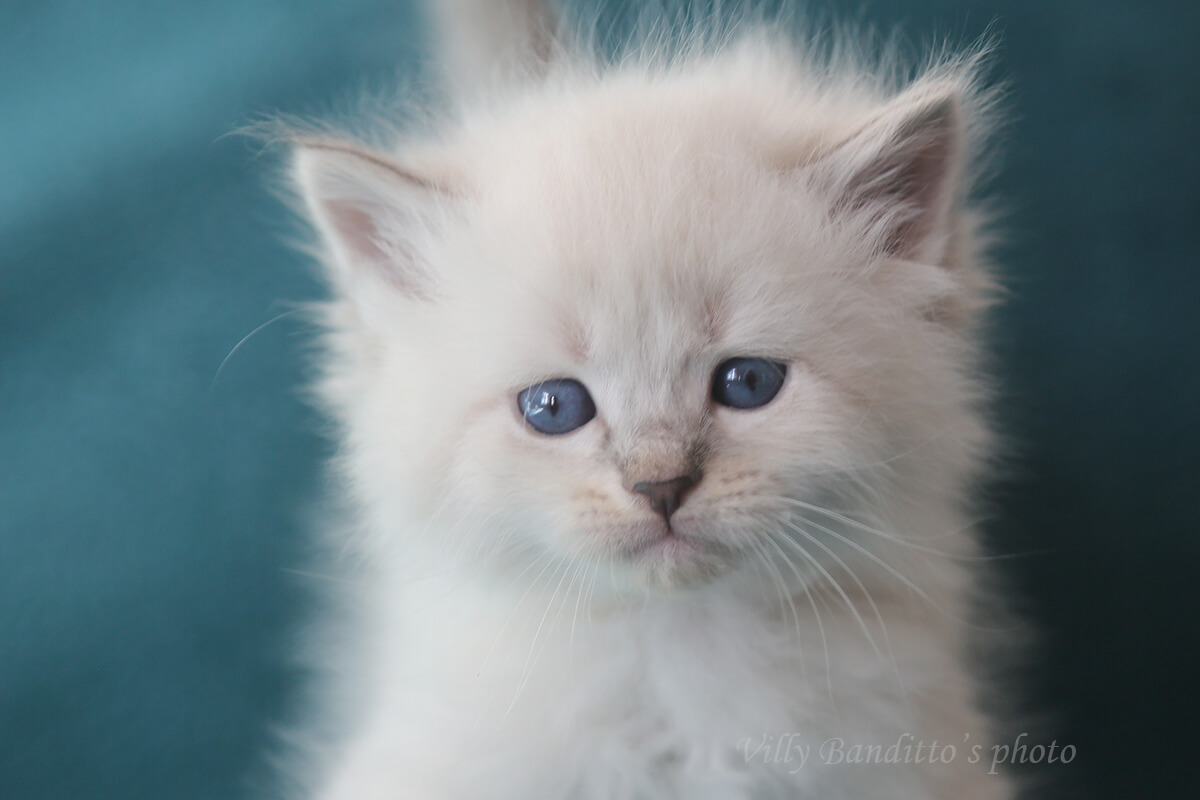 Charming Neva masquerade kitten with excellent texture of coat and beautiful blue eyes