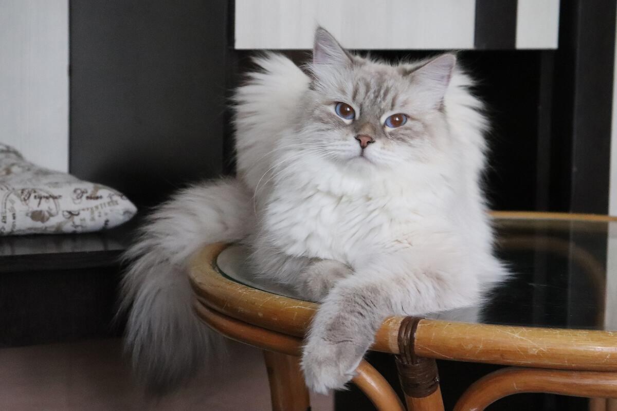 Siberian Neva masquerade cat Incredible Sweetie LyuMur